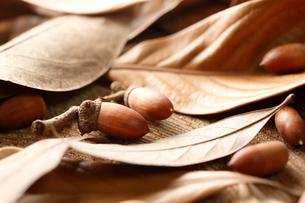 シラカシの葉とドングリの写真素材 [FYI02358209]