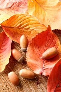 紅葉した桜の葉とドングリの写真素材 [FYI02358258]