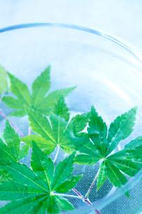 ガラスの花器と新緑のモミジの写真素材 [FYI02358352]
