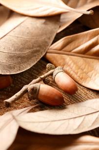 シラカシの葉とドングリの写真素材 [FYI02358416]