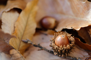 枯れ葉とドングリの写真素材 [FYI02358425]