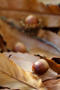 枯れ葉とドングリの写真素材 [FYI02358429]