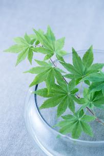 ガラスの花器と新緑のモミジの写真素材 [FYI02358445]