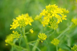 水菜の花の写真素材 [FYI02358449]