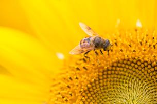 ひまわりとミツバチの写真素材 [FYI02358520]