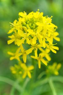 水菜の花の写真素材 [FYI02358652]