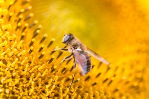 ひまわりとミツバチの写真素材 [FYI02358689]