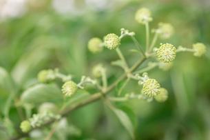 タラノキの花の写真素材 [FYI02358701]