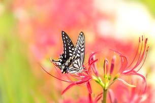 彼岸花とアゲハチョウの写真素材 [FYI02358714]