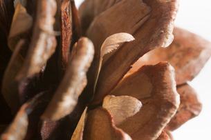 松ぼっくりとアカマツの種の写真素材 [FYI02358803]