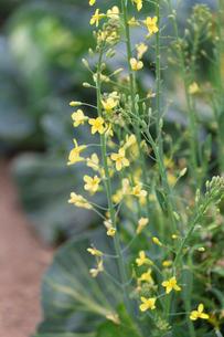 キャベツの花の写真素材 [FYI02358813]