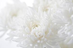 白バックの白い菊の写真素材 [FYI02358821]