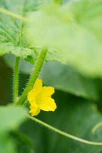 メロンの花の写真素材 [FYI02358855]
