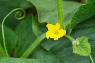 メロンの花の写真素材 [FYI02358861]