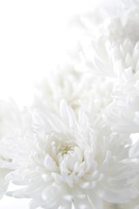 白バックの白い菊の写真素材 [FYI02358878]