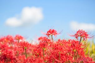彼岸花と雲の写真素材 [FYI02358892]