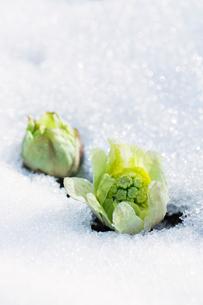 雪から芽を出したフキノトウの写真素材 [FYI02358940]