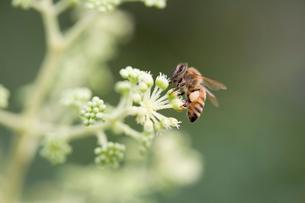タラノキとミツバチの写真素材 [FYI02359033]