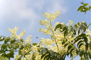 タラノキと花の写真素材 [FYI02359046]