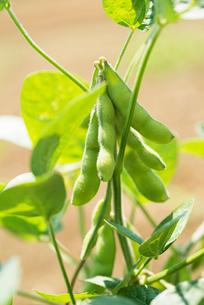 枝豆の写真素材 [FYI02359089]