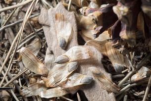 松ぼっくりとアカマツの種の写真素材 [FYI02359105]