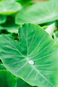 里芋の葉の写真素材 [FYI02359123]