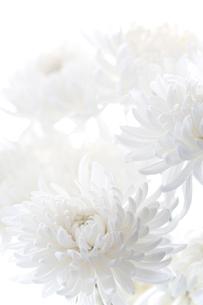 白バックの白い菊の写真素材 [FYI02359179]