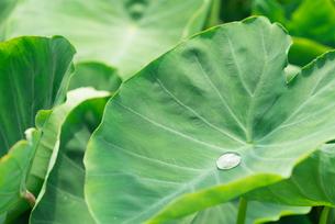 里芋の葉の写真素材 [FYI02359241]