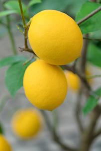 レモンの写真素材 [FYI02359380]