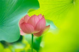 大賀蓮 神代植物公園・水生植物園の写真素材 [FYI02360089]