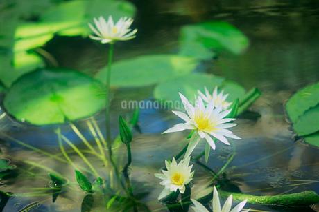 熱帯睡蓮 神代植物公園の写真素材 [FYI02360096]