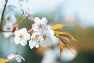 山桜 神代植物公園水生植物園の写真素材 [FYI02360102]