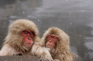 地獄谷温泉の猿の写真素材 [FYI02360106]