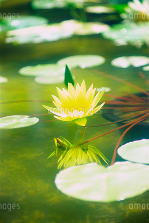 熱帯睡蓮 神代植物公園の写真素材 [FYI02360111]