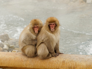 地獄谷温泉の猿の写真素材 [FYI02360176]