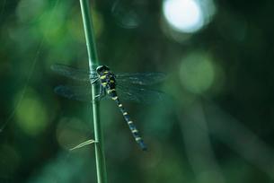 オニヤンマ 神代植物公園・水生植物園の写真素材 [FYI02360187]