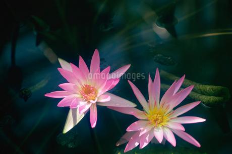 熱帯睡蓮 神代植物公園の写真素材 [FYI02360253]