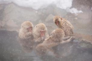 地獄谷温泉の猿の写真素材 [FYI02360303]