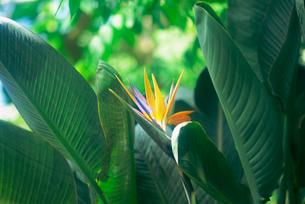 極楽鳥花 神代植物公園の写真素材 [FYI02360376]