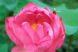 大賀蓮と蜜蜂 神代植物公園・水生植物園の写真素材 [FYI02360564]