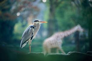 アオサギ 多摩動物公園の写真素材 [FYI02360674]
