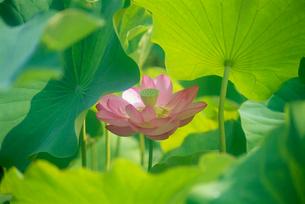 大賀蓮 神代植物公園・水生植物園の写真素材 [FYI02360867]