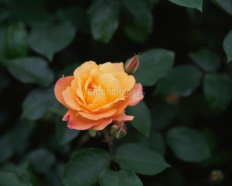 バラ アンネフランクの写真素材 [FYI02361159]