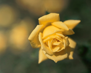 バラ サマーサンシャインの写真素材 [FYI02361277]