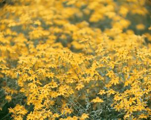 ハーブ レモンマリーゴールドの写真素材 [FYI02361279]