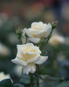 バラ フレンチレースの写真素材 [FYI02361399]