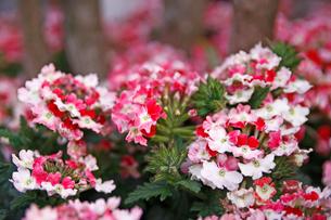 バーベナ ピンクパフェの写真素材 [FYI02361587]