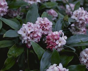 ジンチョウゲの花のアップの写真素材 [FYI02361950]