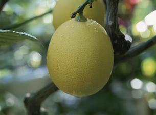 木に実るレモンのアップの写真素材 [FYI02361953]