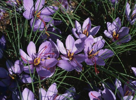 薬草(サフラン)の花のアップの写真素材 [FYI02361960]